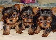 Cachorros de Yorkies Terrier para adopción