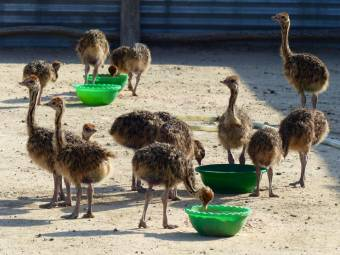 pollitos y huevos de avestruz disponibles
